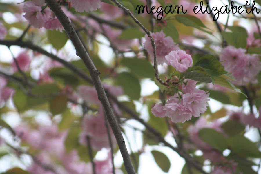 Cherry blossoms by crphotos on deviantart