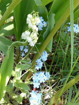 Nots and Lily of the Valley