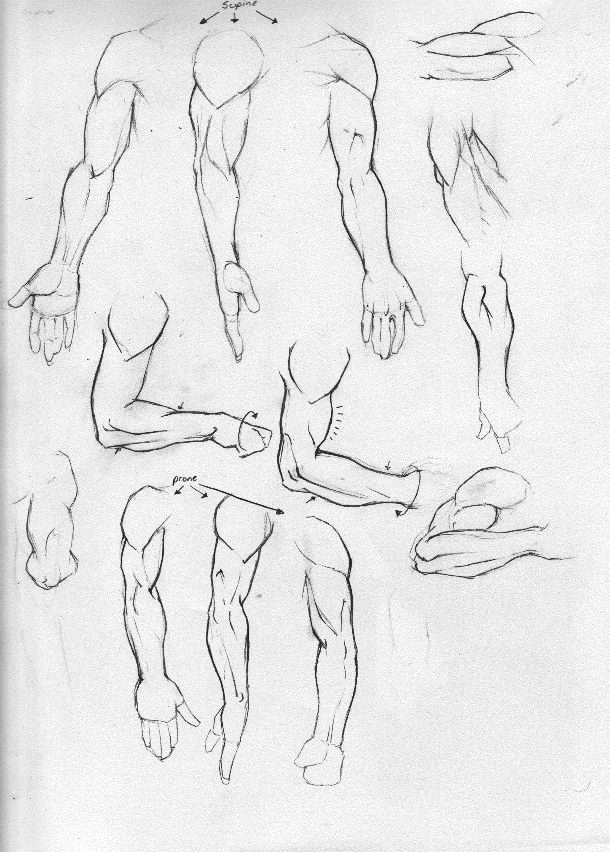 Anatomy Study Part 3-Arms by Rogzilla on DeviantArt