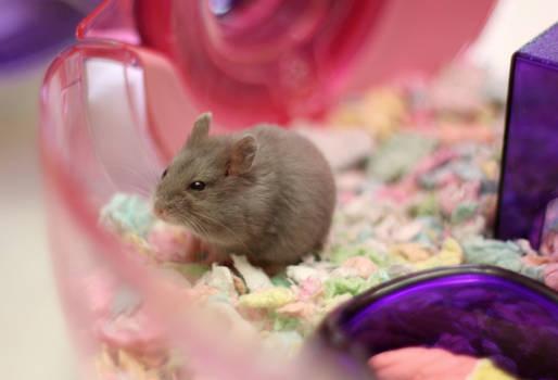 Hamster giving the evil eye :)