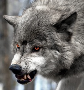 Silver wolf growling by regretfuloblivion on DeviantArt