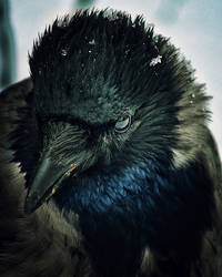 crow by RENOPHOTO