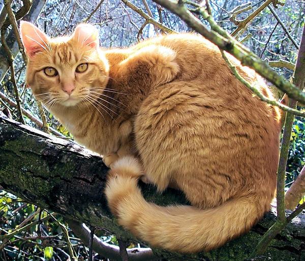 Lycus Tresire_cat_by_kitsunekko