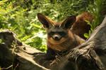 The bat-eared fox