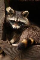 North American raccoon by DarkTaraArts