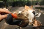 The fascinating tongue of a giraffe...