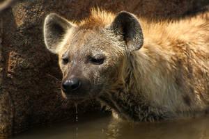 ~Water-hyena~ by DarkTaraArts