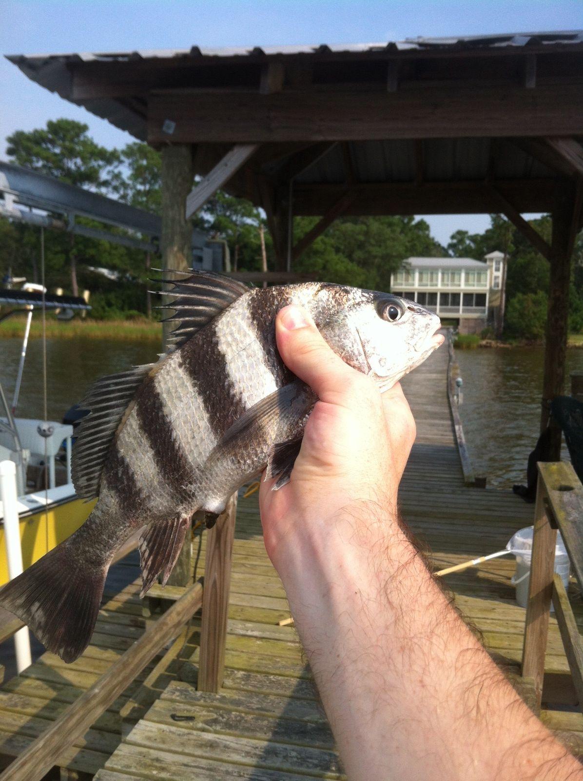 Juvenile Black Drum Fish