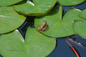 Small Frog Big Pond by environment