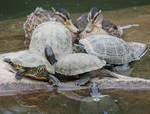 Tortoises relaxing with ducks