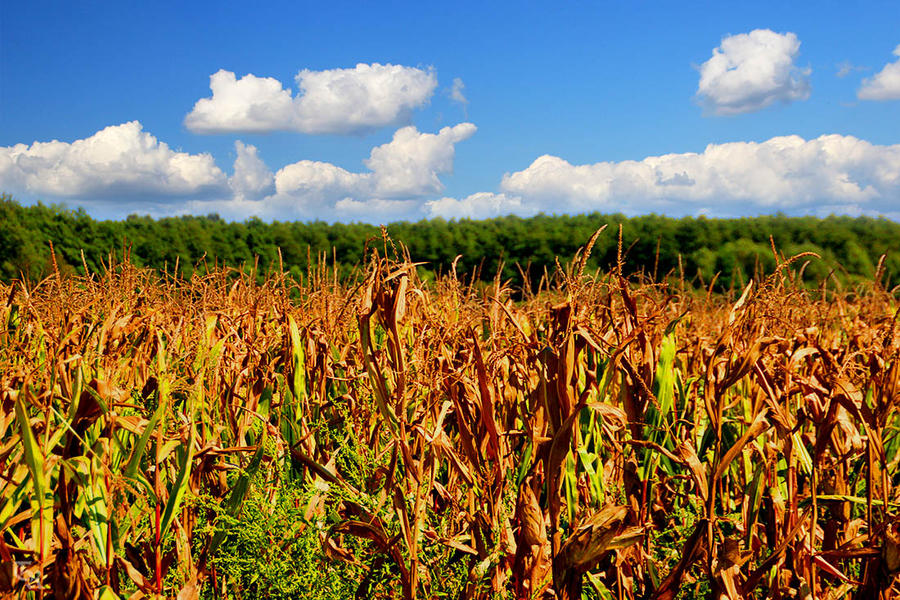 Corn Field by ToRom