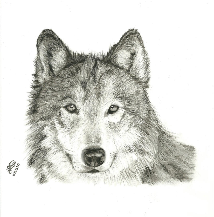 Gray Wolf by Sylpheah