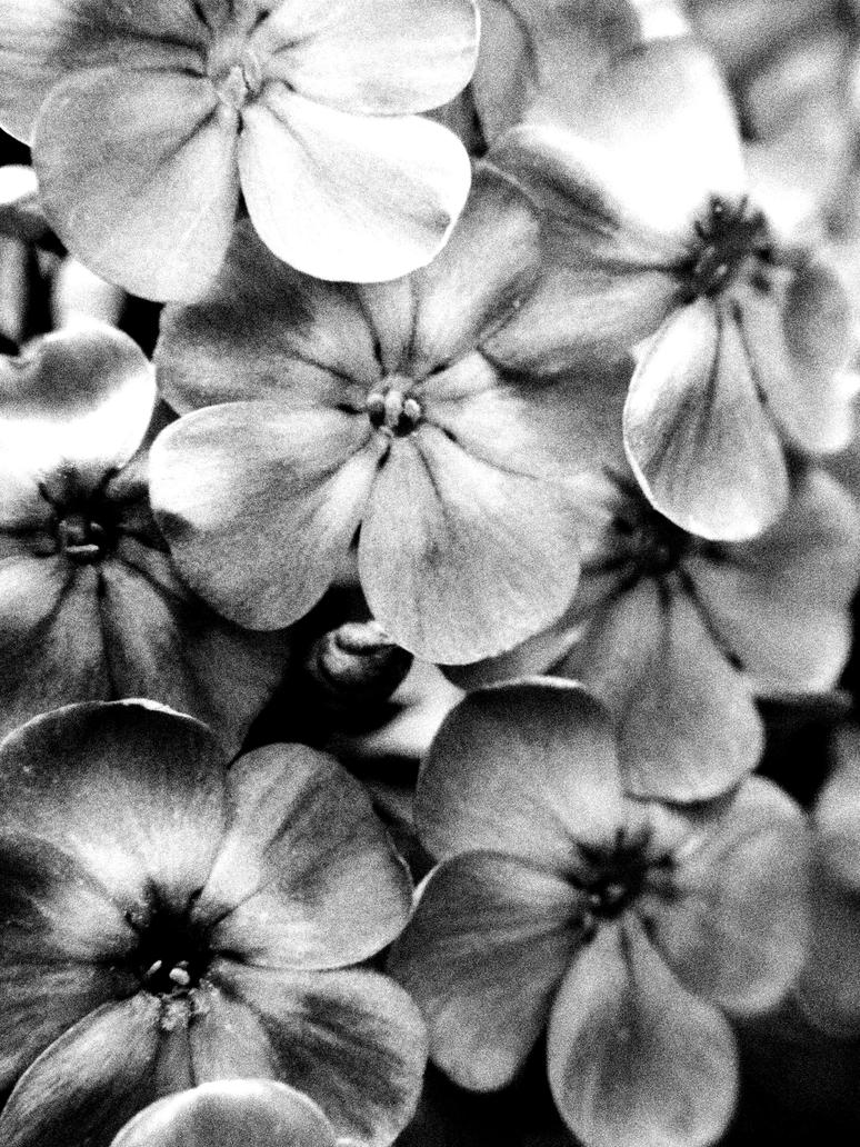 black and white flowers by - Black And White Flowers