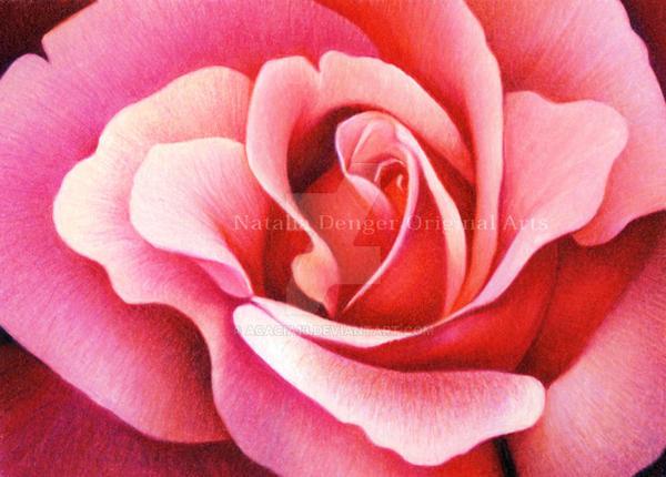 Rose by Acacia13