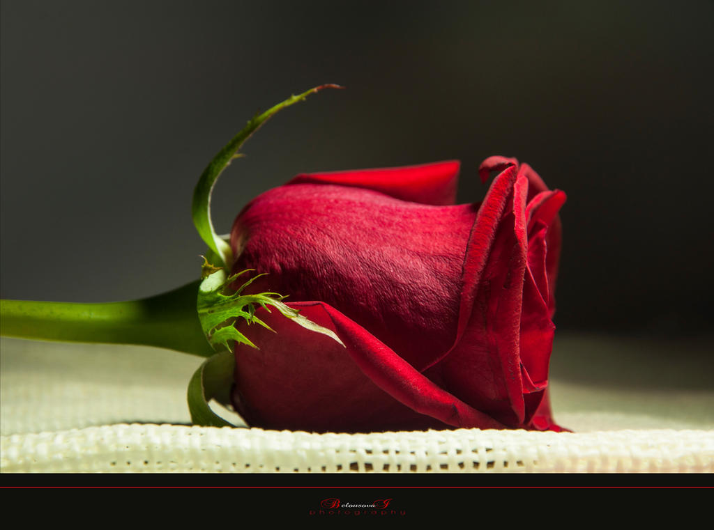 Rose by aniribe