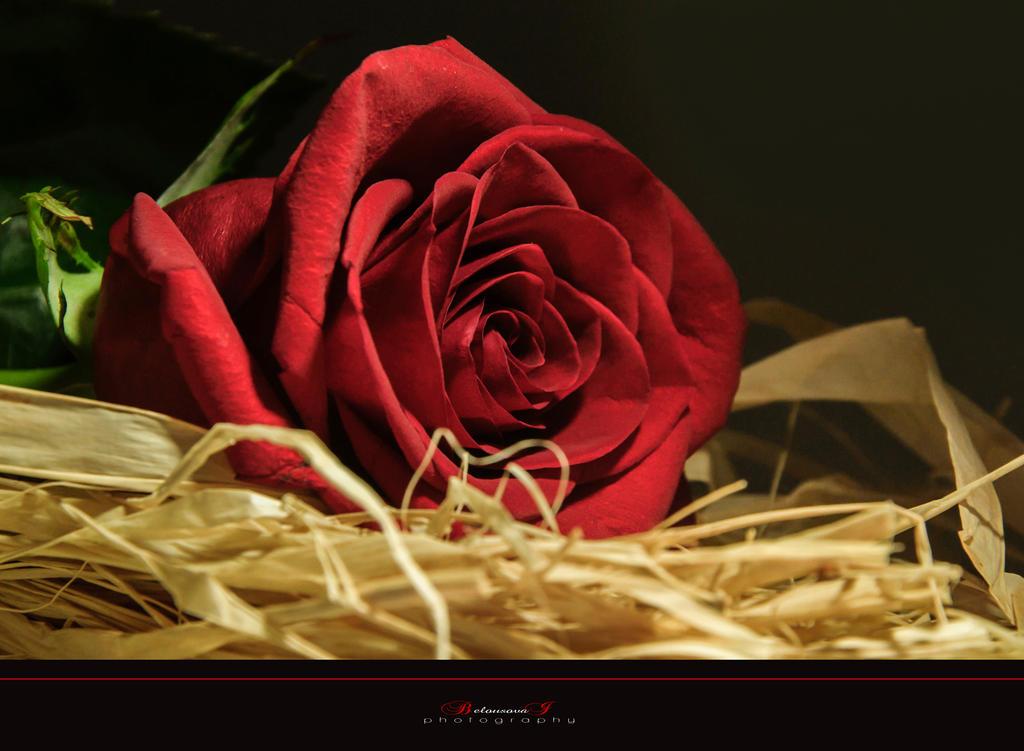 Rose2 by aniribe
