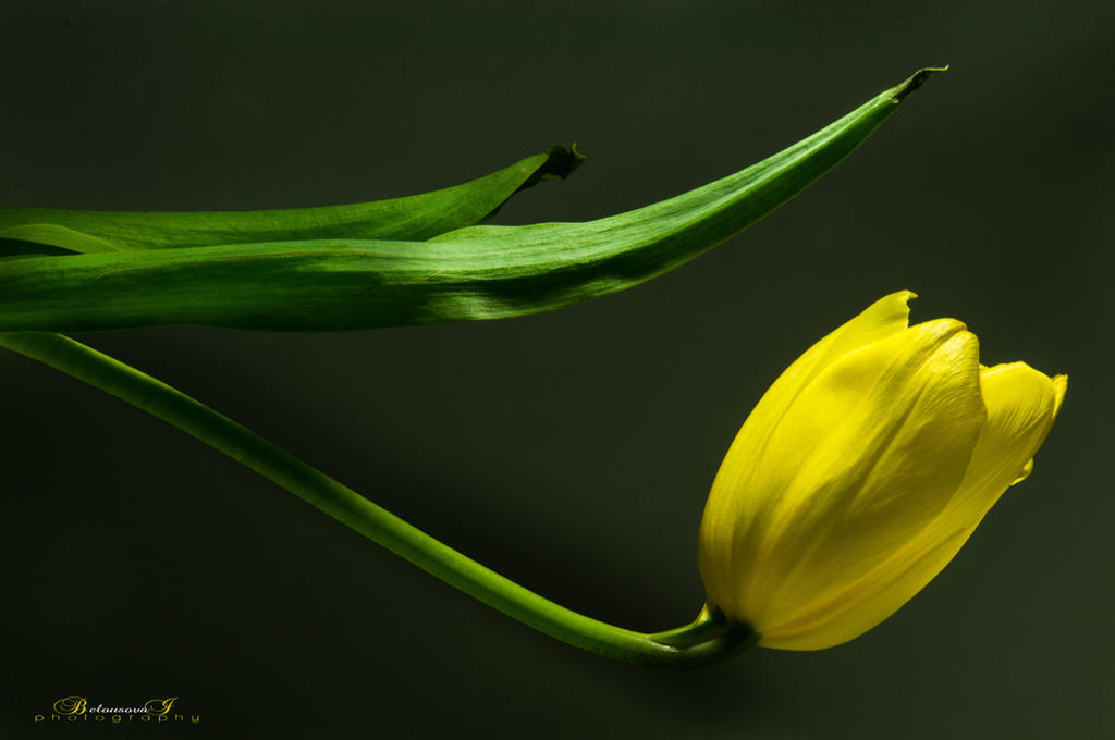 Tulip by aniribe