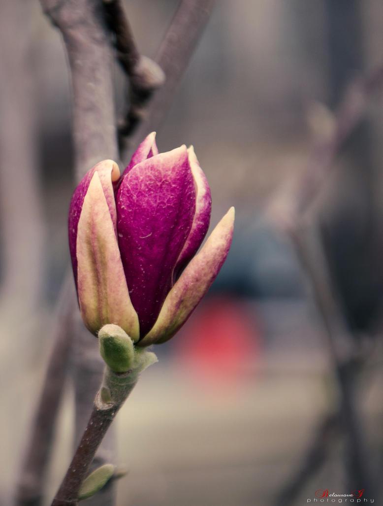 Magnolia by aniribe