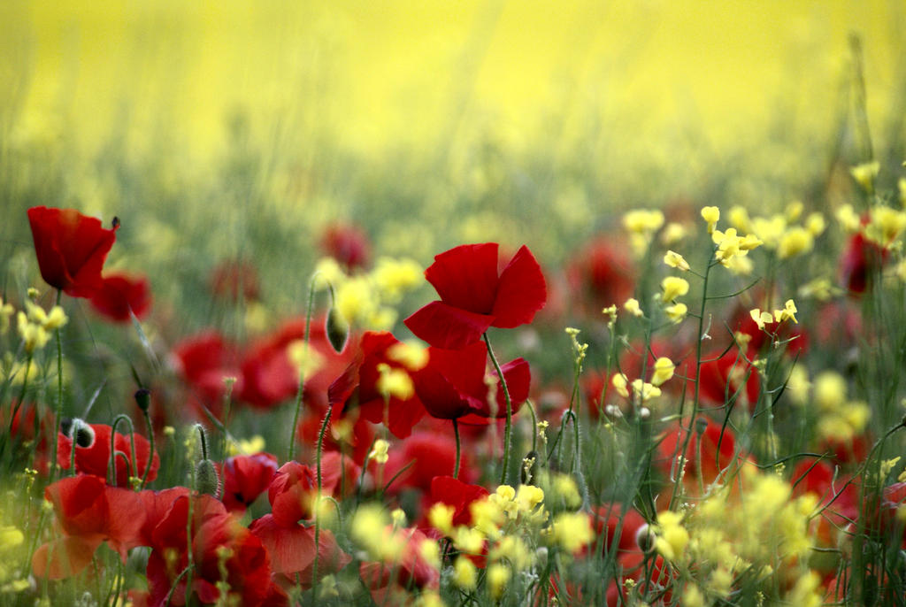 poppies in a field by Dune-sea