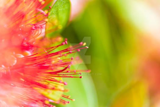 Callistemon flower