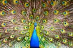 Peacock by Karaul