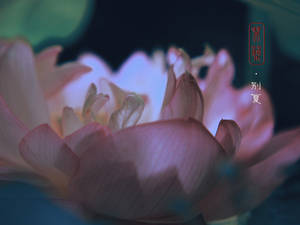 Lotus - For saying Goodbye to the Summer