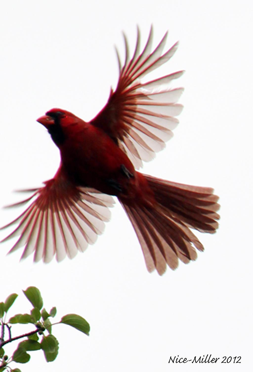 Cardinal in flight by agtspooky on DeviantArt