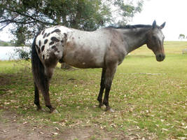 Appaloosa Standing by Yumpy