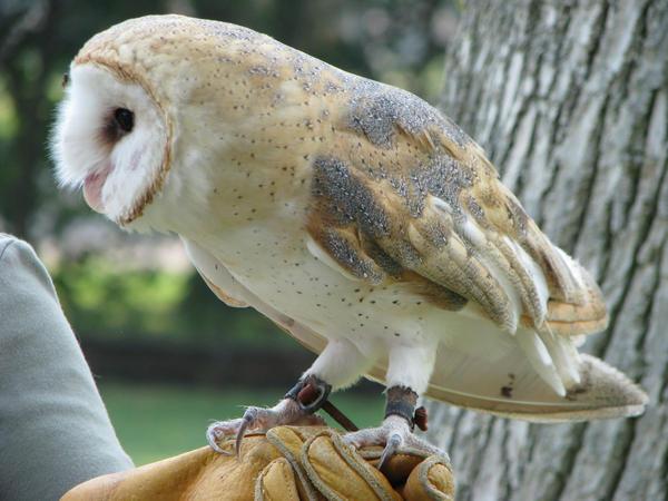 Barn owl 6 by CRStock