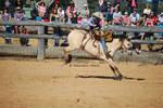 dun Bronco horse