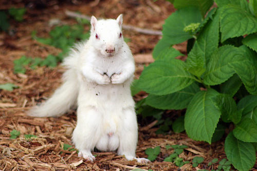 Albino Squirrel by phlezk