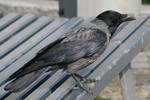 Raven 01