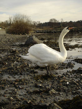 Swan - 10