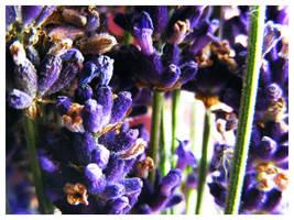 Lavender by Cazilu