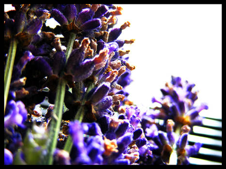 Some more Lavender
