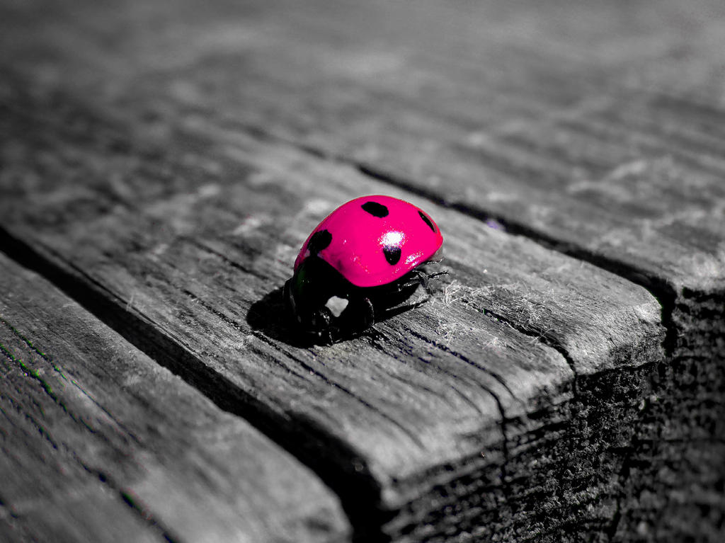 Pink ladybug - photo#15