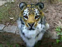 Sage the tiger by Thundolis