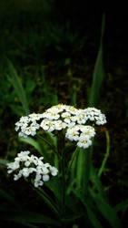 Tahoe Flowers 1 by AV571N