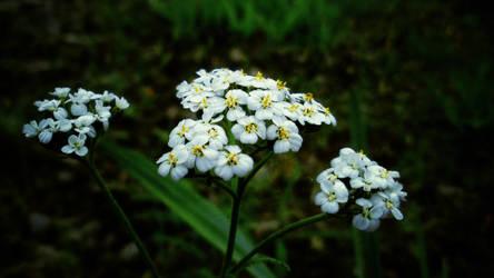 Tahoe Flowers 2 by AV571N