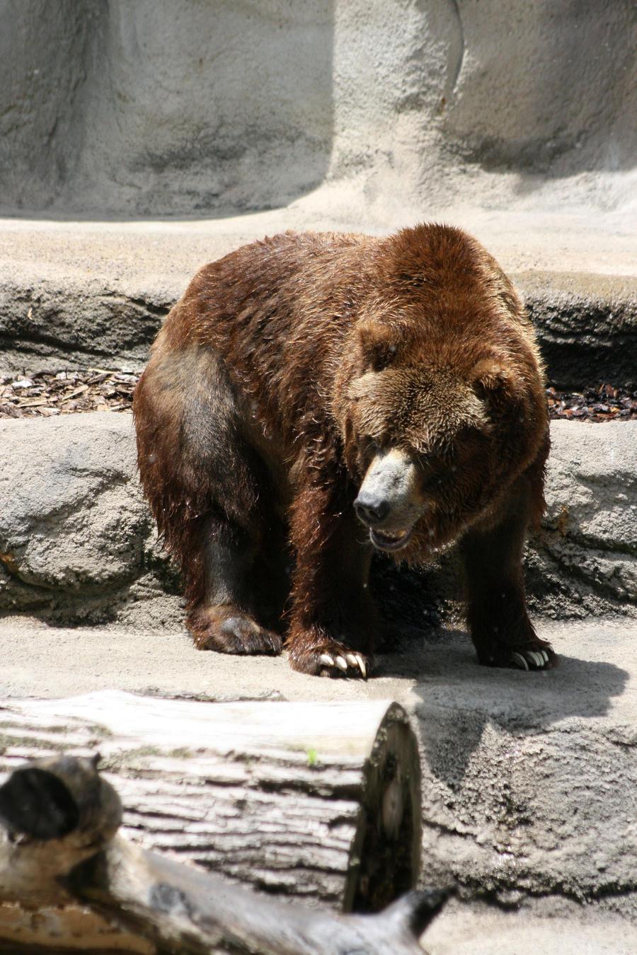 Bear stock by lostxtearz-stock