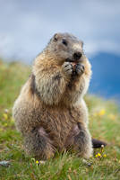 Marmot - 02 by AndreasResch