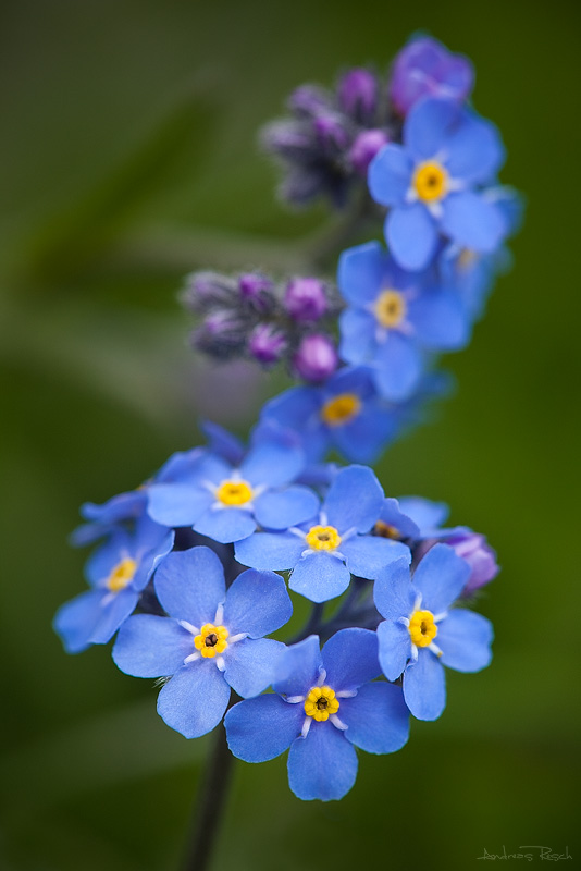 Forget Me Not by AndreasResch