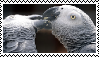 Stamp: African Grey Parrots Kissing by SealyTheSeal