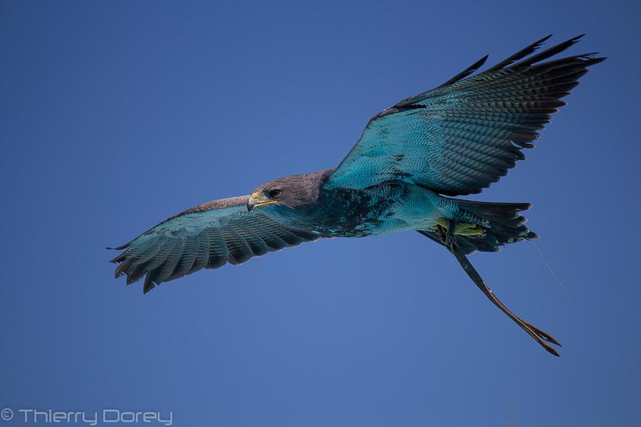 Aigle bleu du chili by Talos-X