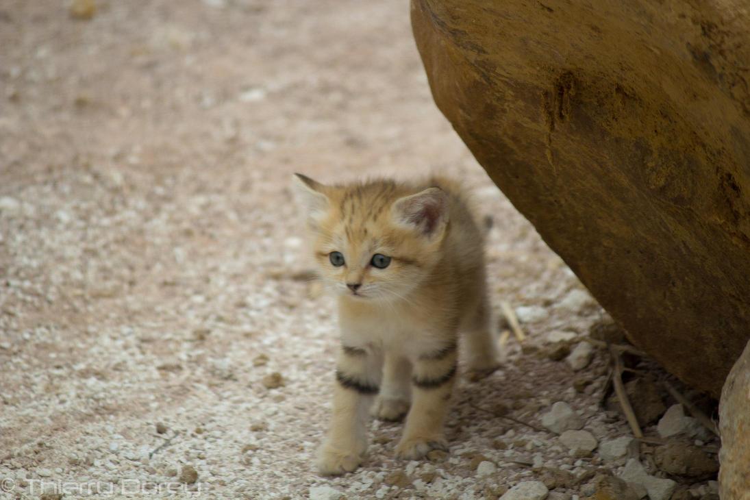 Chat des sables by talos x on deviantart - Chat des sables a vendre ...