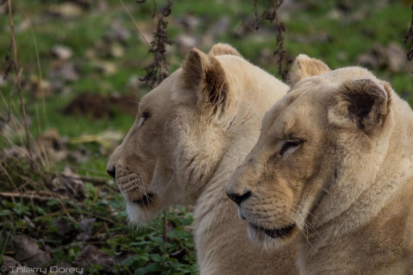 Lions Blanc de Kruger by Talos-X