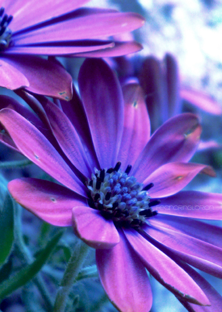 dark purple flowers  gallery, Beautiful flower
