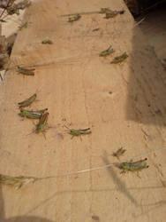 Crickets by cravspuma