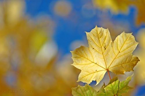 Autumn Leaf by ezramoore