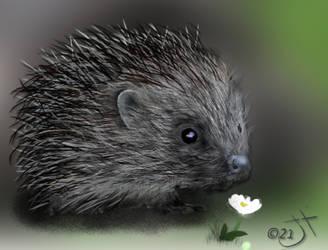 Prickly Hedgehog